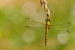 As promised, dragonfly ^^ by Kriloner
