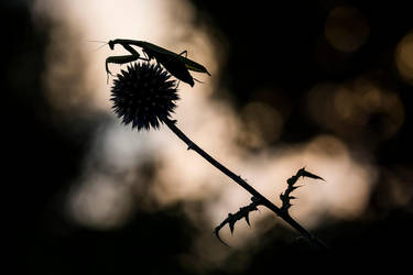 i see a little silhouette of a mantis by Kriloner