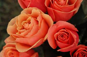 Roses by TakeTheShot