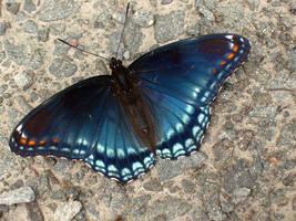 Butterfly by Sh3ikha