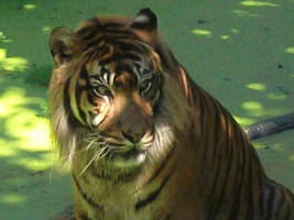 Portrait of the tiger by Lena-Panthera
