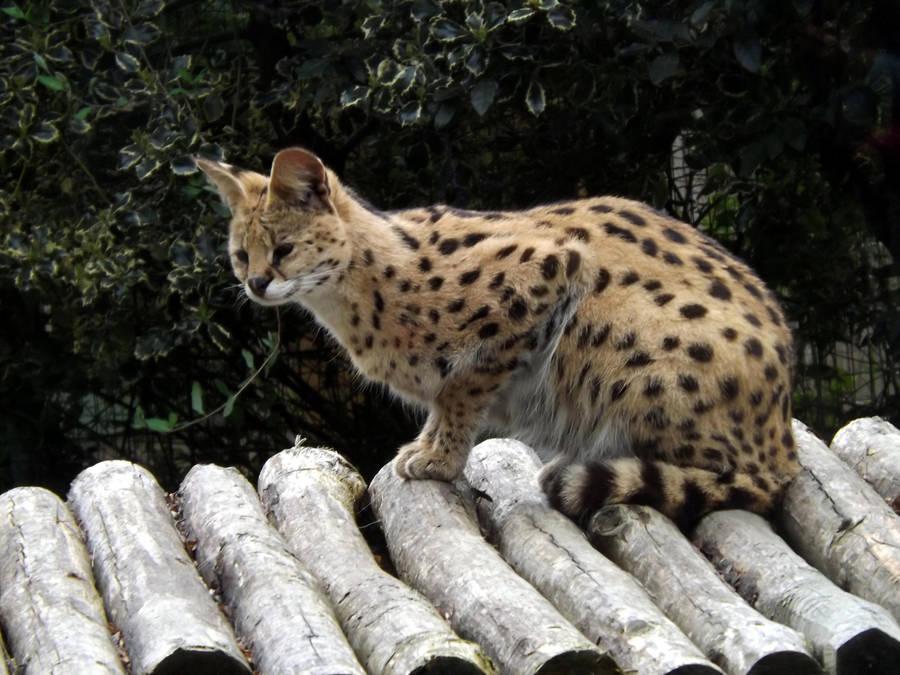 2014 - Serval 15 by Lena-Panthera