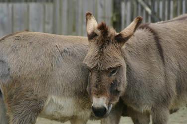 [STOCK] Animal 5 -  Donkey by Weksart