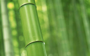 bamboo by echo615