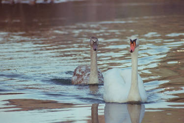 swans by spicua