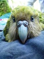 Kakapo Parrot  by flynnelizabeth