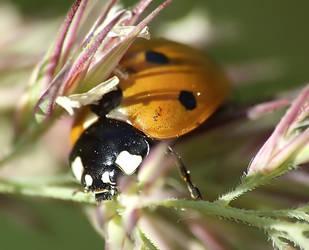 Ladybird 5 by mateuszskibicki1