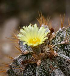 cactus bloom by MrWuschl