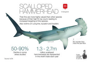 Scalloped hammerhead Endangered by memuco