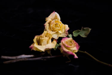 Dried Roses by nightandrei