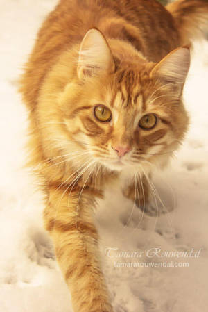 Snow kitty by TammyPhotography