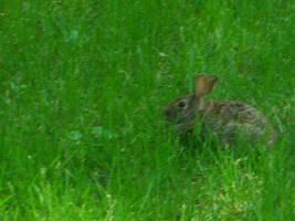 Backyard Bunny by RhoswenFaerie