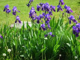 Royal Iris by RhoswenFaerie