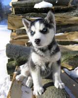 little husky by Majchy