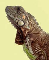 Iguana iguana2 by Felipe-Coelho2