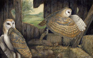 Thesis - Barn Owls by windfalcon