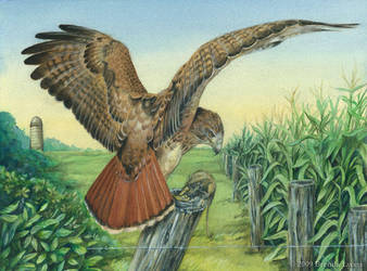 Thesis - Red-tailed Hawk by windfalcon
