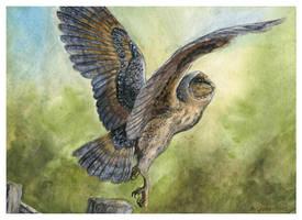 Melanistic Barn Owl by windfalcon