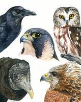 Five Bird Portraits by windfalcon