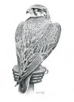 Prairie Falcon by windfalcon