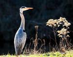 Heron by ratinrage