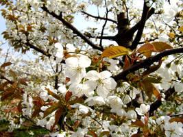 Springtime Cherry Blossoms... by MichiLauke