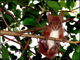 Red Baby Squirrel III... by MichiLauke