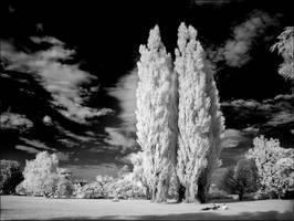 Cottonwood Trees II infrared by MichiLauke