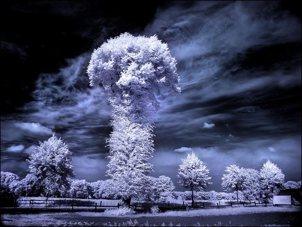 Mushroom Tree infrared... by MichiLauke