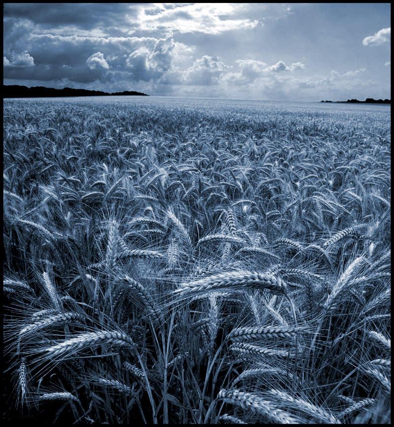 Fields of Gold in Blue... by MichiLauke