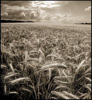 Fields of Gold in Sepia... by MichiLauke