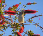 Mocking bird in the Bottle Brush tree by knighttemplar1