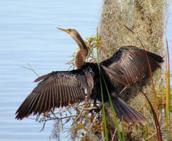 Drying his wings after diving for fish by knighttemplar1