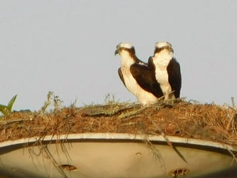 Mom and Dad  Osprey at home (1) by knighttemplar1