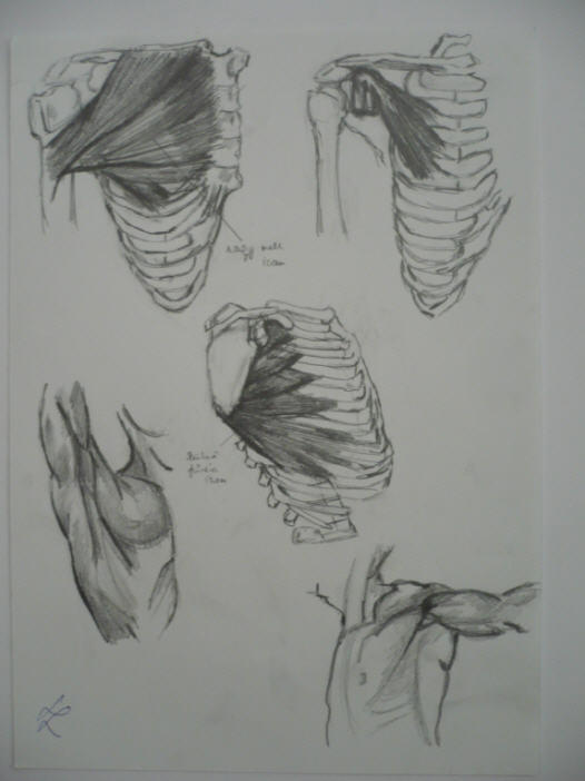 human body study by Silmarilian