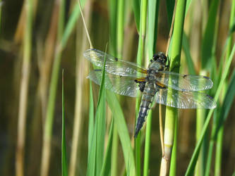 Dragonfly by Cherii-pipa