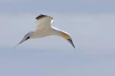 Northern Gannet 2 by joeelway