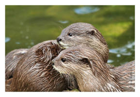 Young otters by JRose-Photography