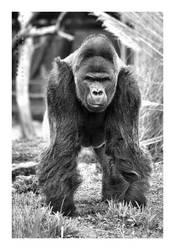Gorilla by JRose-Photography