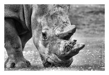 Rhino by JRose-Photography