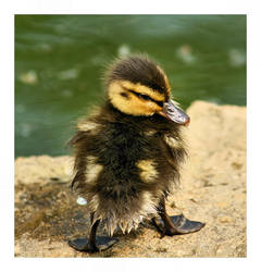 Duckling by JRose-Photography