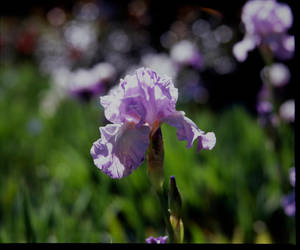 Flower 1 by helohe