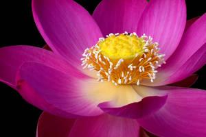 Pink Lotus by carterr