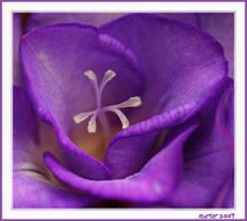 The Colour Purple by carterr