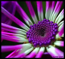 The Purple Jewel by carterr