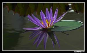 Waterlily III by carterr