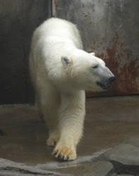 Polar Bear 1 by maerocks