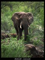 African Elephant V2 by danishdragon