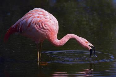 Flamingo by orsoinletargo
