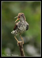 Spotted Sandpiper by seanbeckettvt